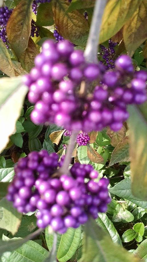 amethyst berries